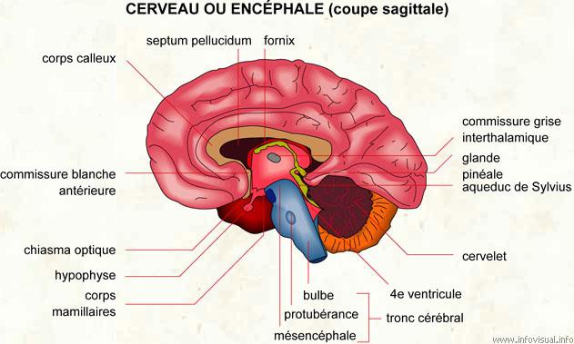 Cerveau ou encéphale (Source : www.infovisual.info)