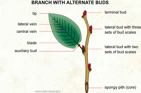 Branch with alternate buds