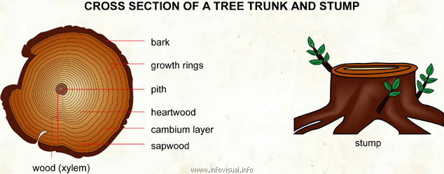 cross section of a tree trunk and stump visual dictionary Tree Stem Diagram
