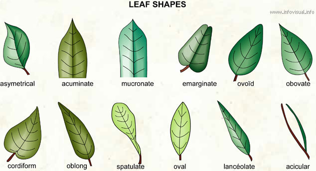 Leaf shapes (1)