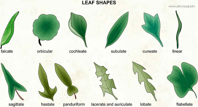 Leaf shapes (2)