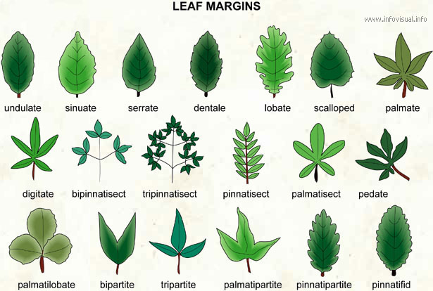 Image result for image of leaves on margins