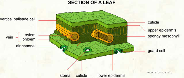 Section of a leaf