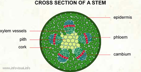 Cross section of a stem