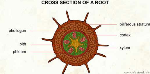Cross section of a root