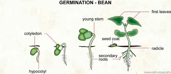 Germination - bean - Visual Dictionary