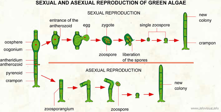 Reproduction of green algae - Visual Dictionary