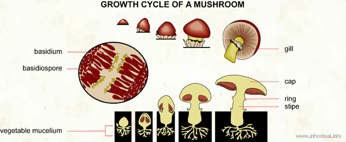 Growth cycle of a mushroom