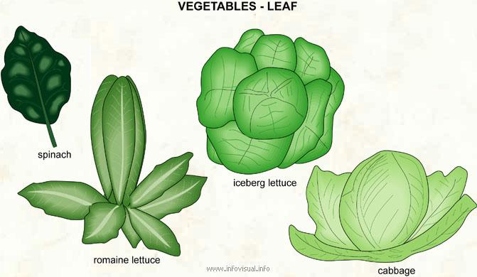Vegetables - leaf - Visual Dictionary