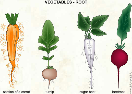 Vegetables - root