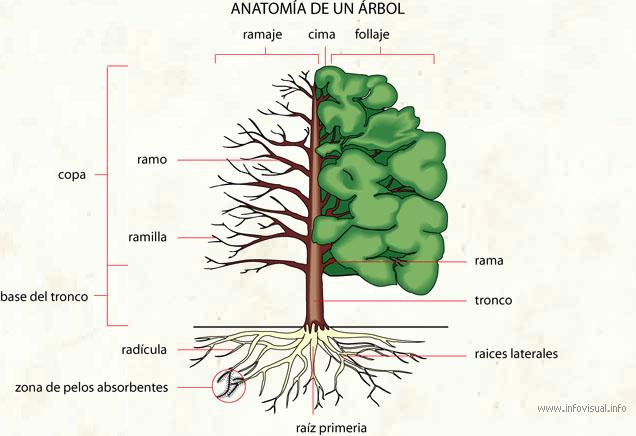 Anatomía de un árbol