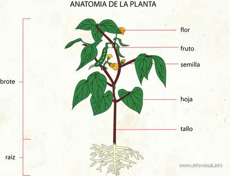 Anatomia de la planta - El Diccionario Visual