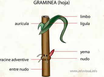 Graminea