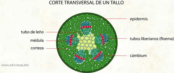 Corte transversal de un tallo - El Diccionario Visual