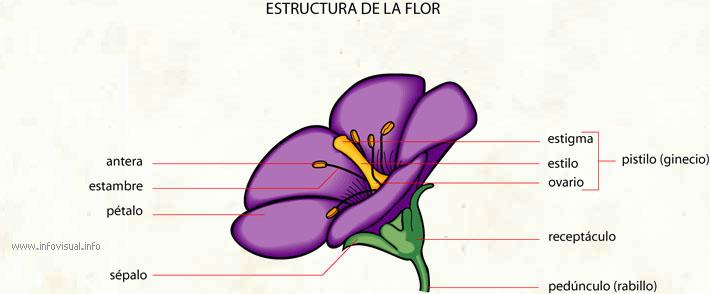 Flor El Diccionario Visual