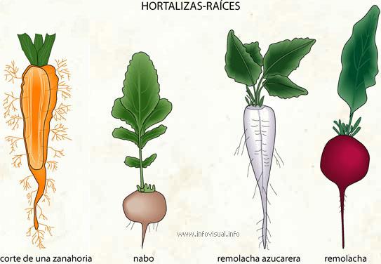 Hortalizas-raíces