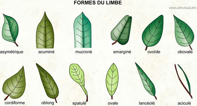 Formes du limbe