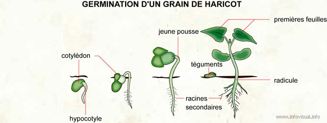 Germination d'un grain de haricot