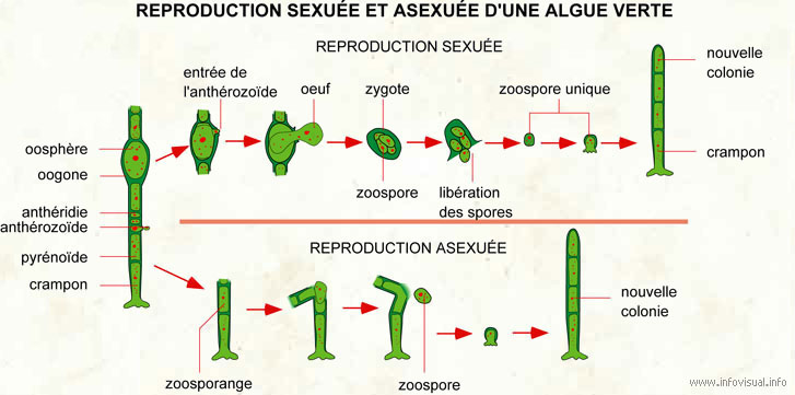 Reproduction sexuée et asexuée d'une algue verte