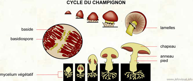 Cycle du champignon