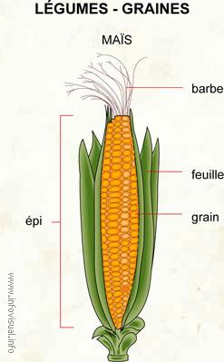 Légumes - graines