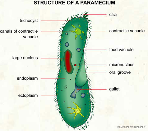 Paramecium visual dictionary paramecium ccuart Images