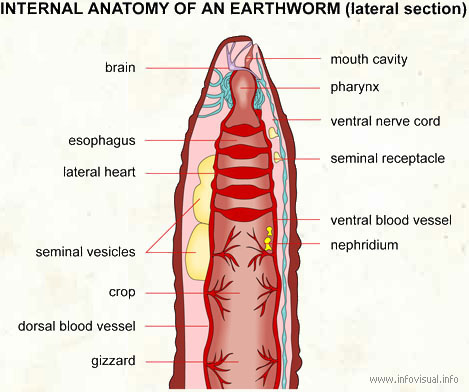 Internal anatomy earthworm lateral