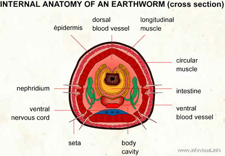 Earthworm - Visual Dictionary