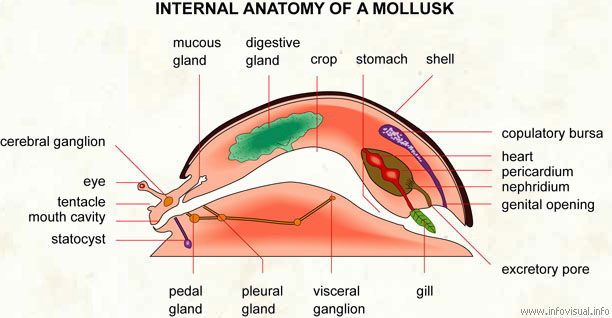 Mollusks Mouth Diagram - Block And Schematic Diagrams •