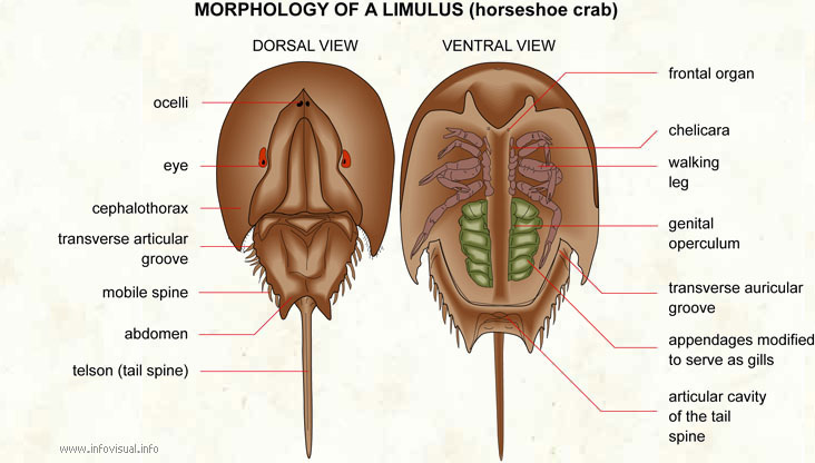 Limulus Visual Dictionary