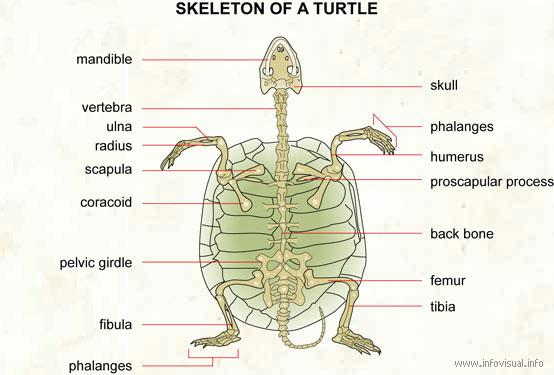 021 skeleton of a turtle skeleton of a turtle visual dictionary