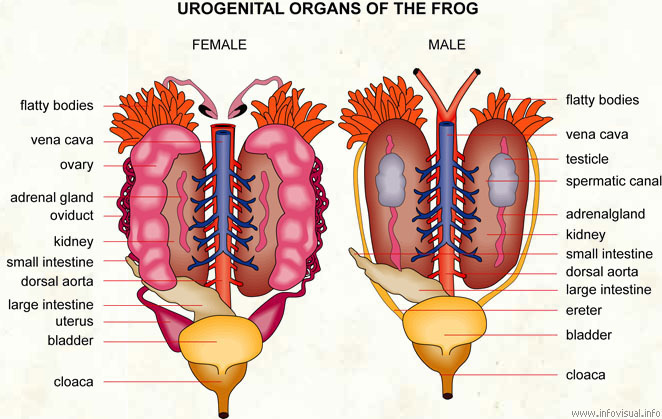 Urogenital organs of the frog