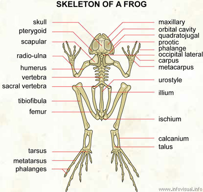 Frog Leg Bones Diagram Experts Of Wiring Diagram