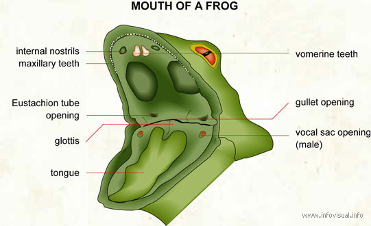 Mouth of a frog