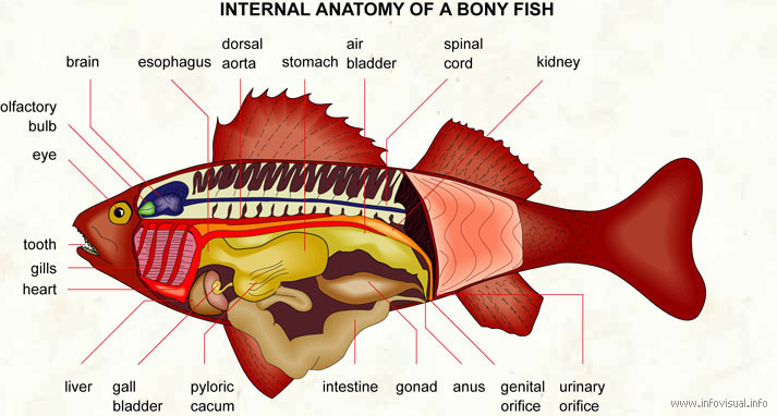 Internal anatomy of a bony fish