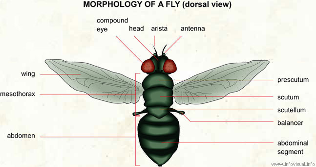 Morphology of a fly (dorsal)