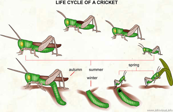Life cycle of a cricket