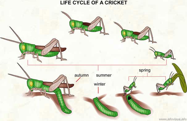 life cycle of a cricket visual dictionary