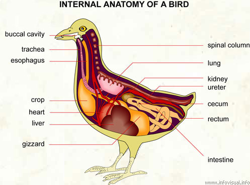 anatomy visual dictionary rh infovisual info Bird Heart Chambers Blooded Heart Bird