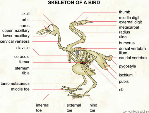 Skeleton of a bird