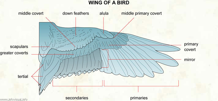 Wing Of A Bird Visual Dictionary