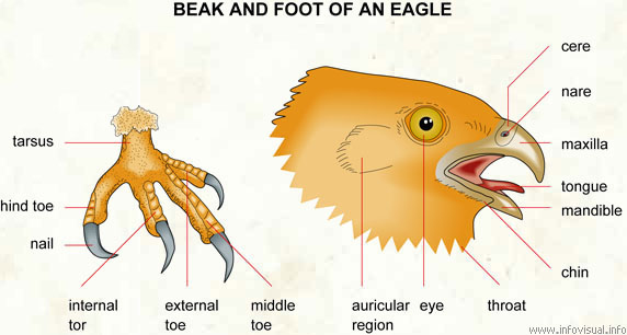 Beak and foot of an eagle - Visual Dictionary
