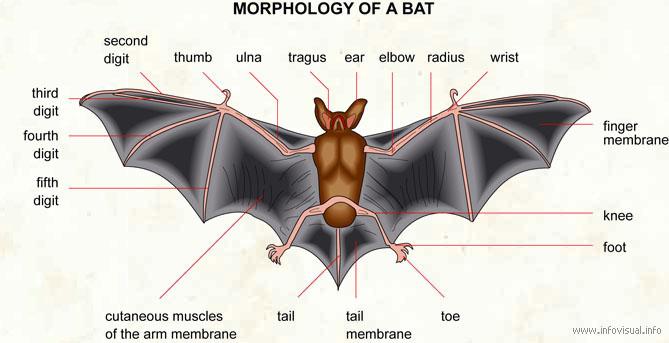 Bat - Visual Dictionary