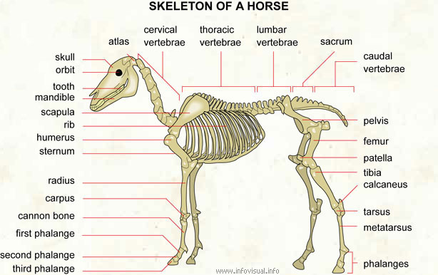 Skeleton of a horse - Visual Dictionary