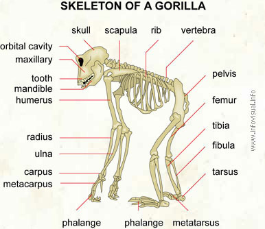 Skeleton of a gorilla