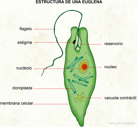 Euglena El Diccionario Visual