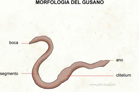 Gusano - El Diccionario Visual