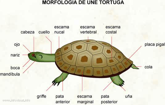 Tortuga - El Diccionario Visual