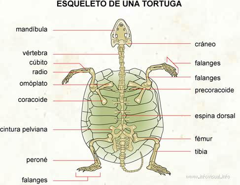 Esqueleto de una tortuga - El Diccionario Visual