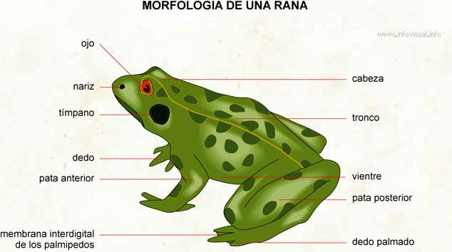Rana - El Diccionario Visual